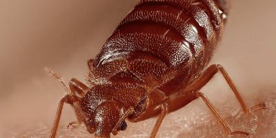 HPC Bed bugs